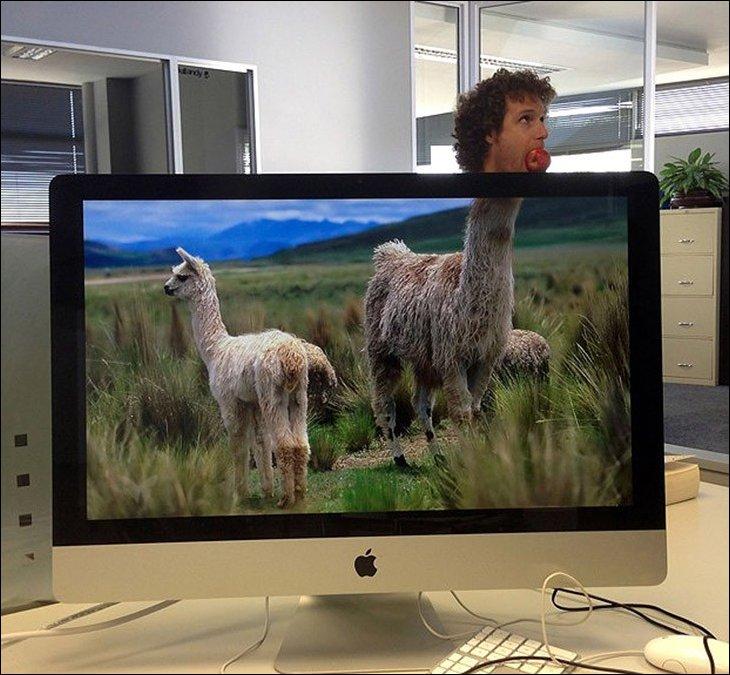 Лама в офисе