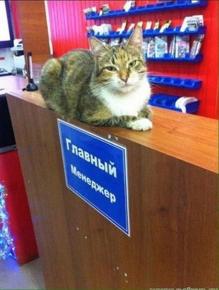 Главный менеджер - кот на работе