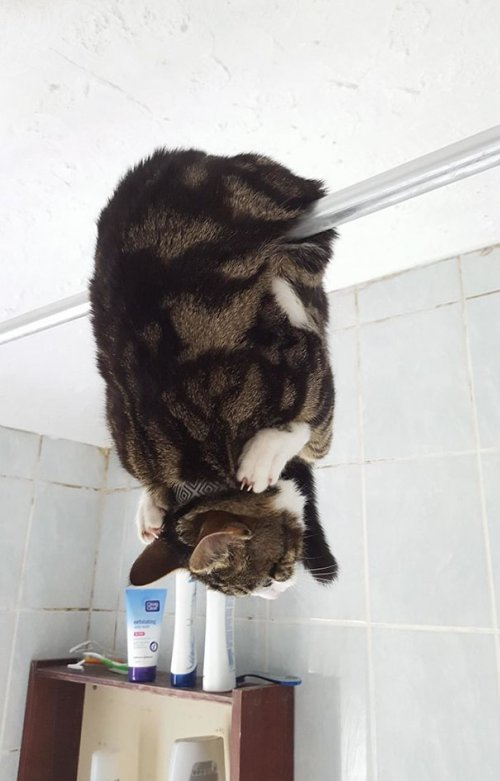 Кот - летучая мышь